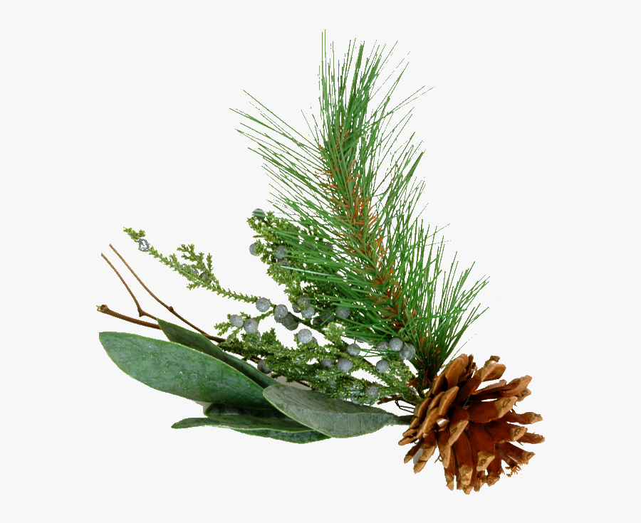 Pine Tree Branch Png Images Pictures - Pine Branch Png Transparent, Transparent Clipart