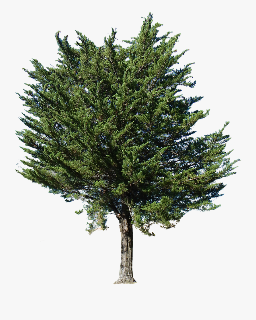 Transparent Background Pine Tree Png, Transparent Clipart