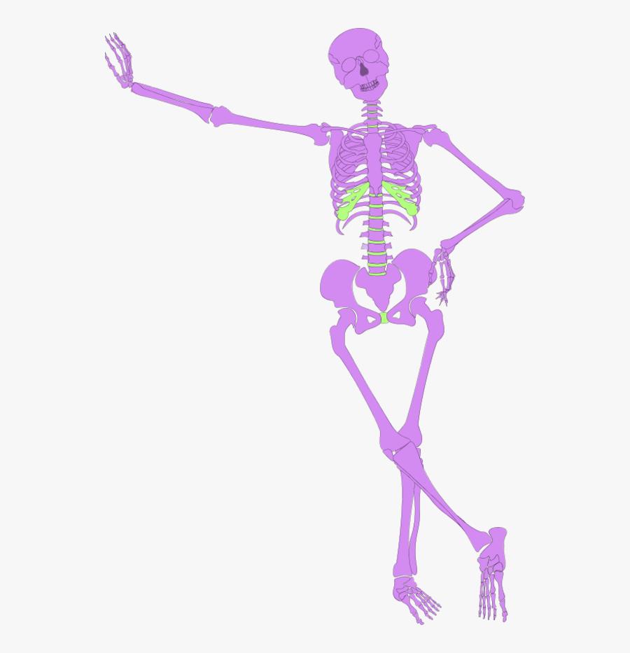 Human Skeleton Outline Skeleton Clipart No Background- - Human Skeleton Graphic, Transparent Clipart