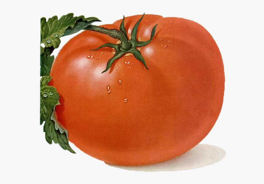 Tomato Drawing, Transparent Clipart