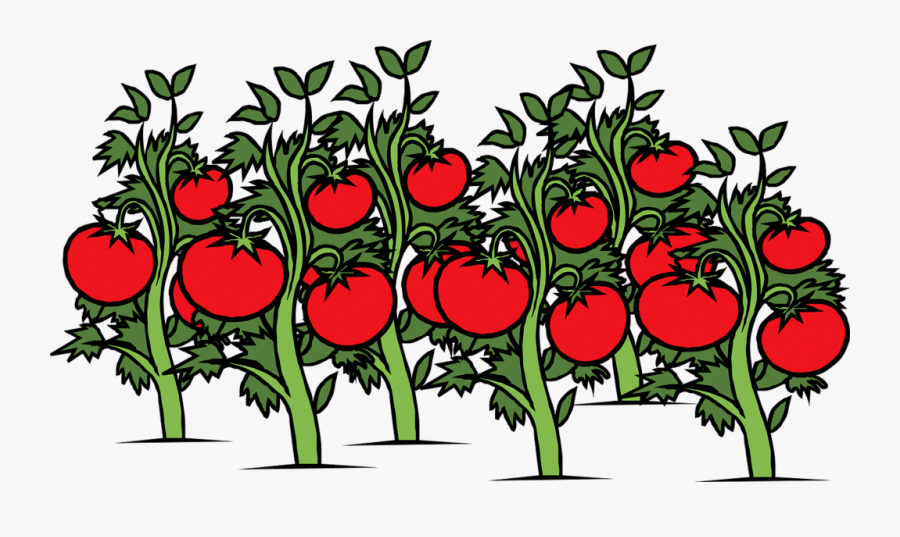 Tomato, Garden, Vine, Plants, Red, Ripe, Green, Food - Tomatoes Plant Clipart, Transparent Clipart