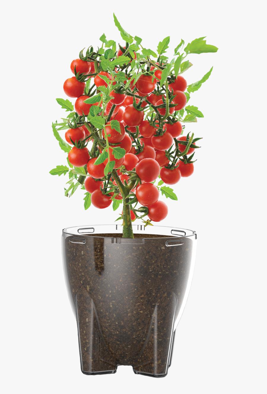 Tomato Plant Png, Transparent Clipart