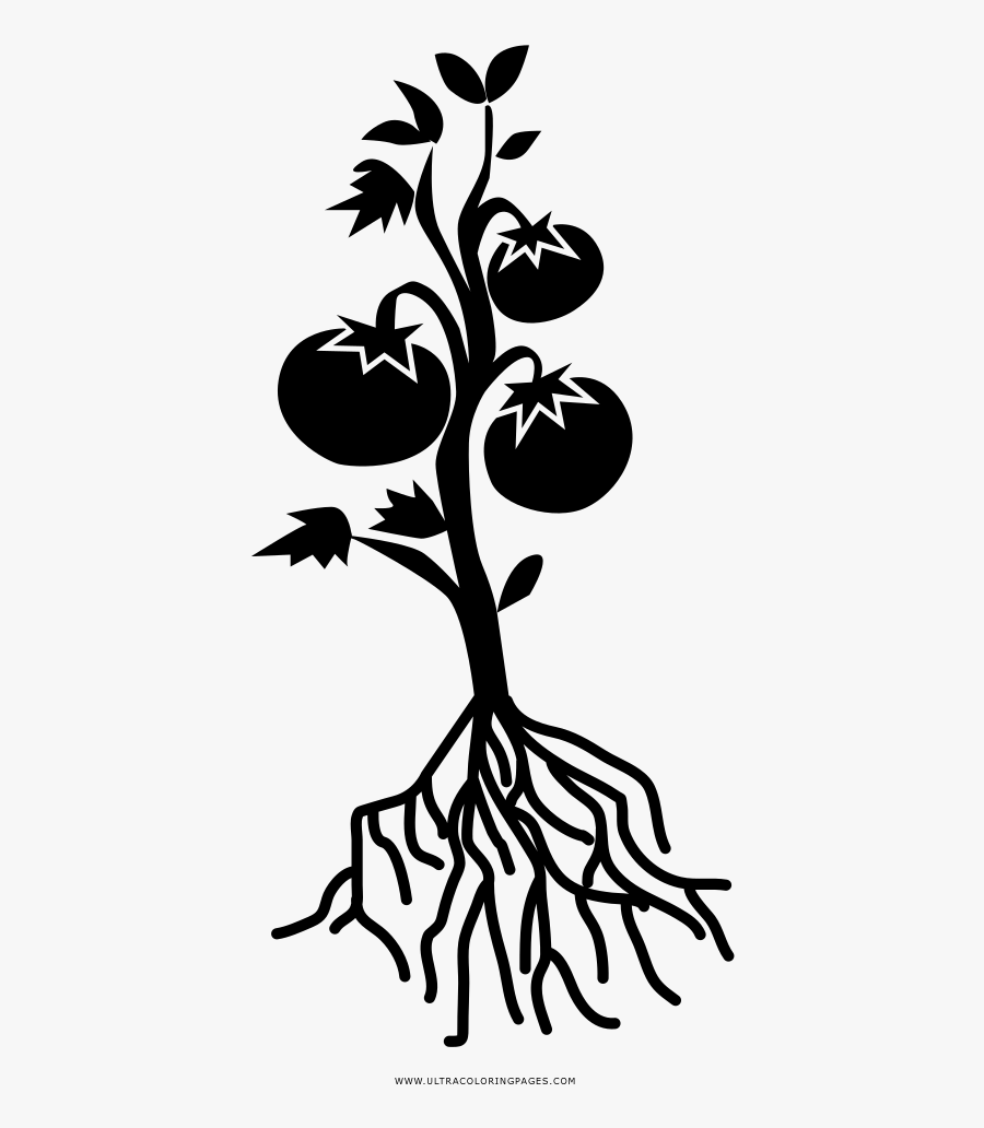Tomato Plant Coloring Page Tomato Plant Black And- - Tomato Plant Black And White, Transparent Clipart