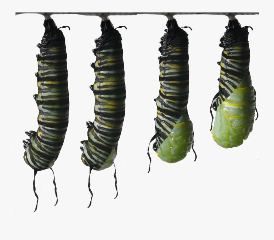 Clip Art Monarch Butterflies Egg To - Butterfly Caterpillar Monarch I Ytimg, Transparent Clipart