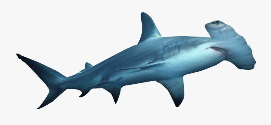 Clipart Shark Hammerhead Shark - Hammerhead Shark No Background, Transparent Clipart