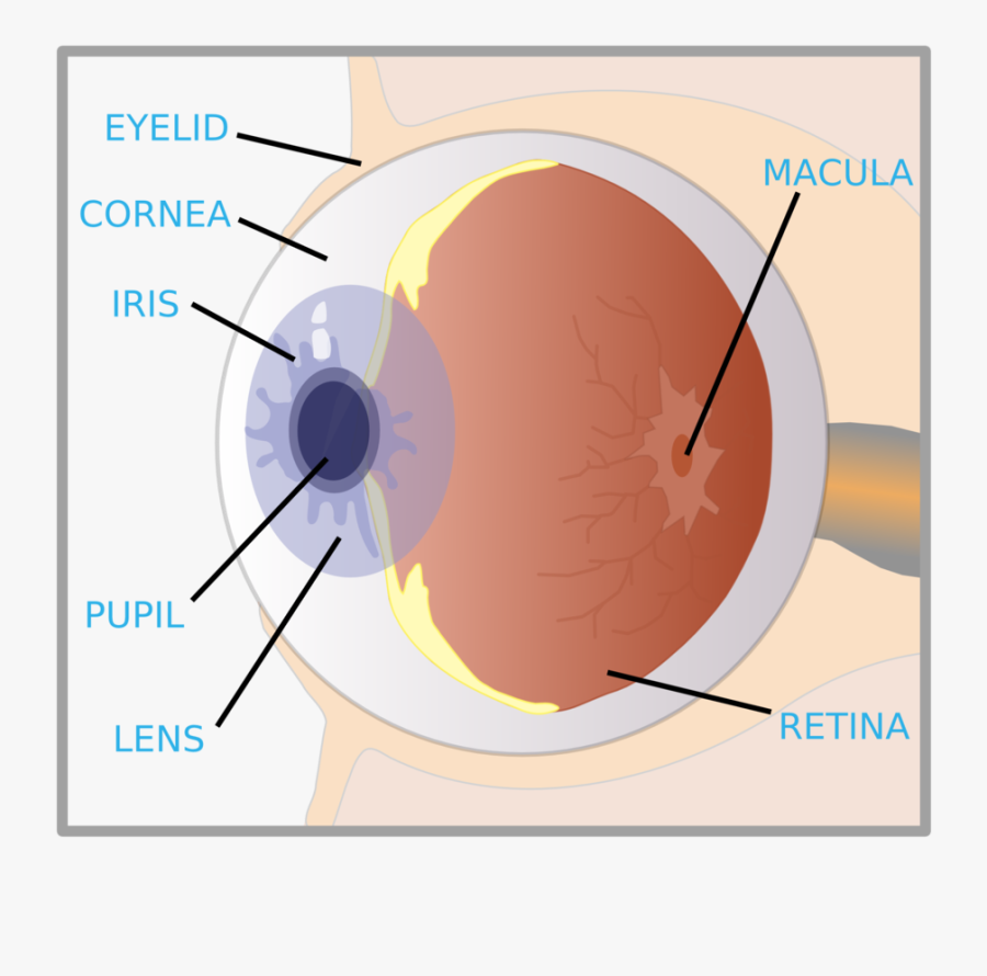 Eye With Labels, Transparent Clipart