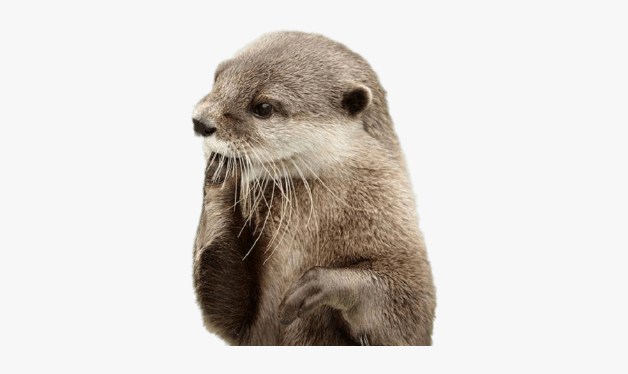 American River Otter,fur,terrestrial Animal,marine - Otter Png, Transparent Clipart