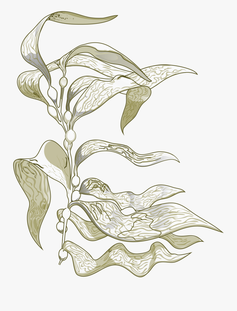 Transparent Kelp Clipart - Sea Kelp Drawing, Transparent Clipart