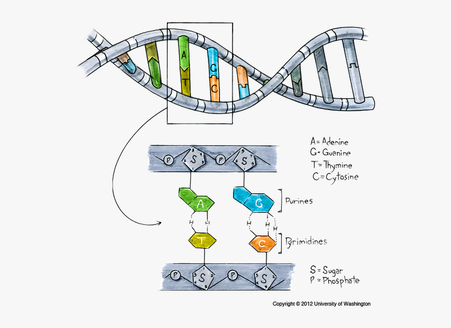 Transparent Dna Clipart Png - Dna Made Out, Transparent Clipart
