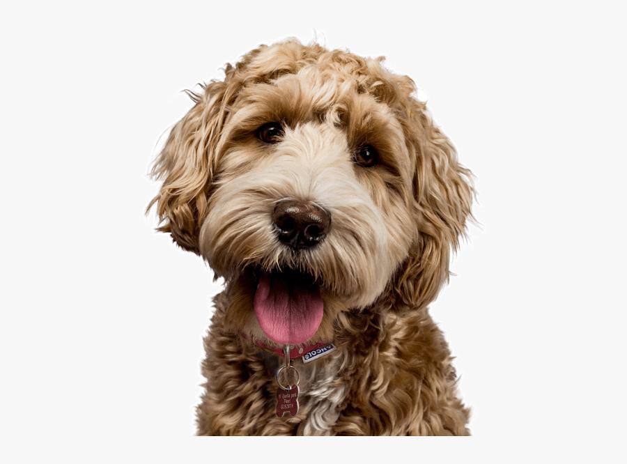 Clip Art Goldendoodle Meme Dog