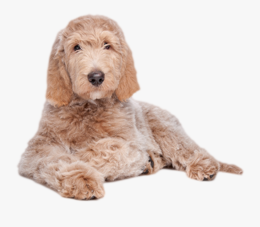 - Labradoodle Laying Down - Labradoodle Lying Down, Transparent Clipart