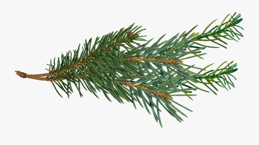Pine Branch Png - Pine Tree Branch Png, Transparent Clipart