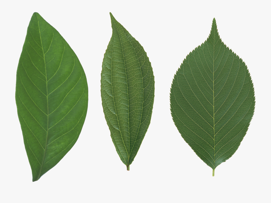 Green Leaf Png - Leaves Png, Transparent Clipart