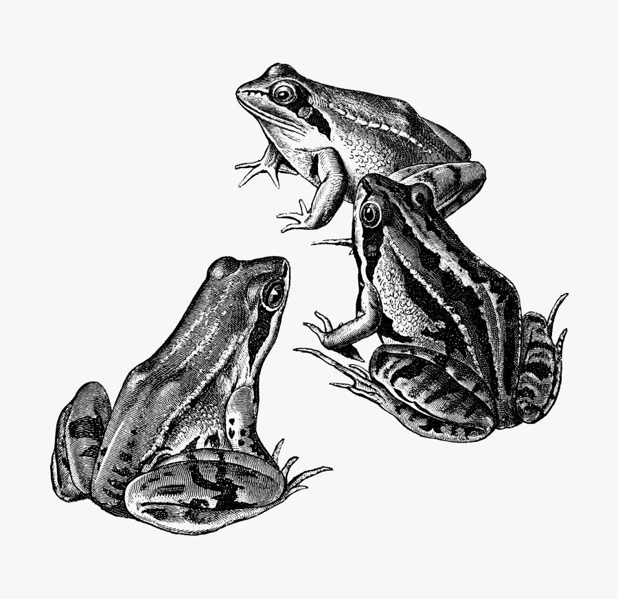 Oak Toad, Transparent Clipart