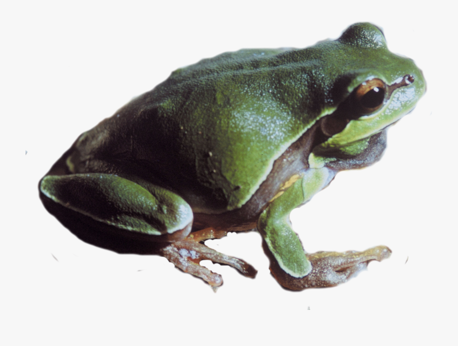 Pine Barrens Tree Frog Png - Pacific Tree Frog Transparent Background, Transparent Clipart
