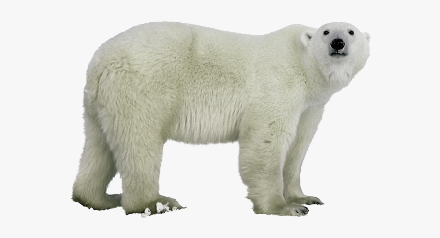 Polar Figure,terrestrial Animal,polar - Polar Bear Clear Background, Transparent Clipart