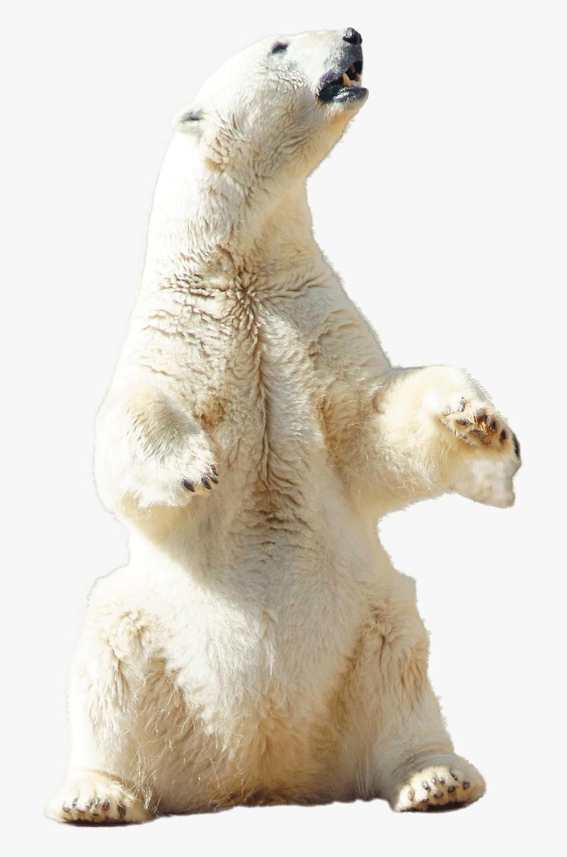 Polar, Bear, Polar Bear, Animal, Nature, Arctic, Snow - Transparent Polar Bear Sitting, Transparent Clipart