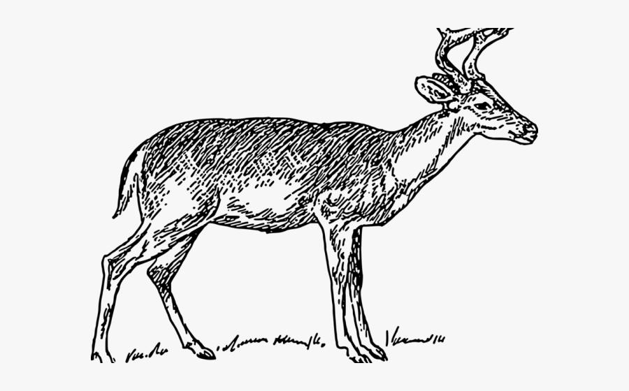White Tailed Deer Clipart Outline - Deer Sketch Png, Transparent Clipart