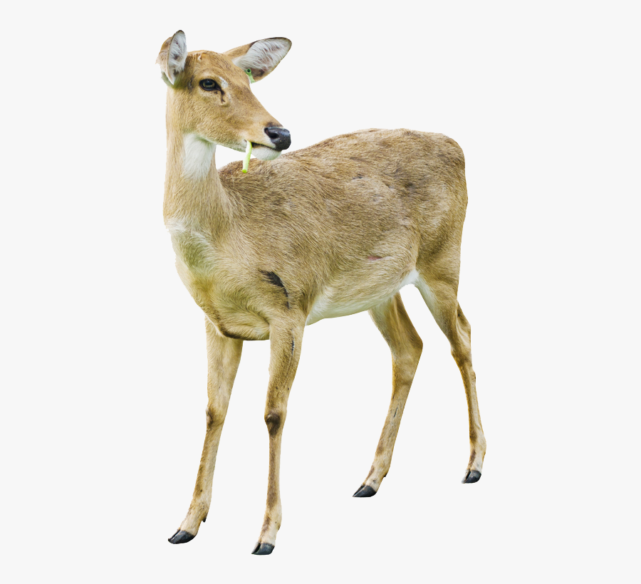Transparent Deer Png Image - White Tailed Deer Doe White Background, Transparent Clipart