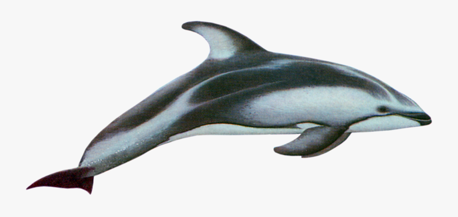 Pacific White Sided Dolphin Png, Transparent Clipart
