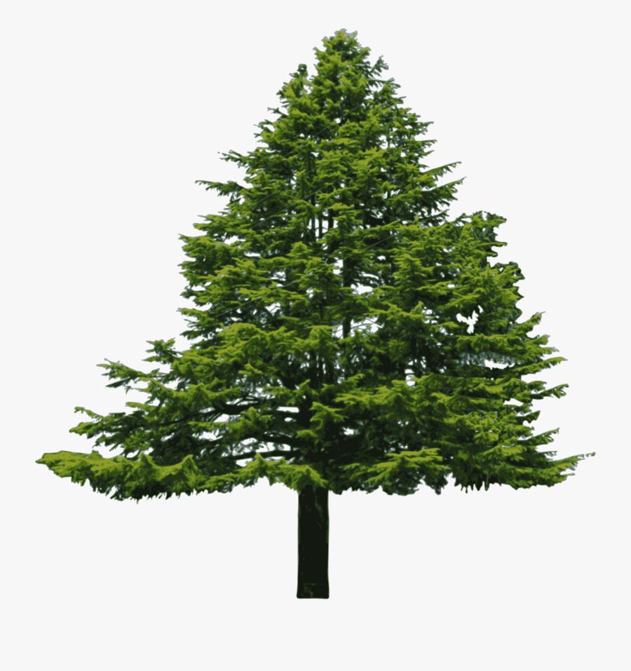 Douglas Fir Clipart - Conifers Non Flowering Plants, Transparent Clipart