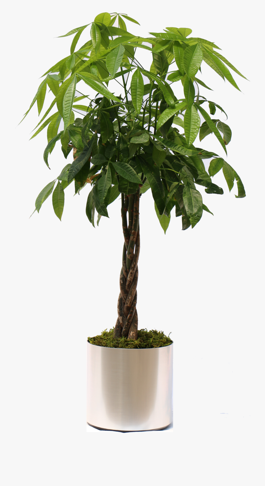Transparent Plant Png - Money Tree Plant Transparent, Transparent Clipart