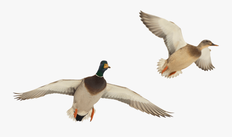 Transparent Duck Hunting Clipart - Duck Flying Transparent Background, Transparent Clipart