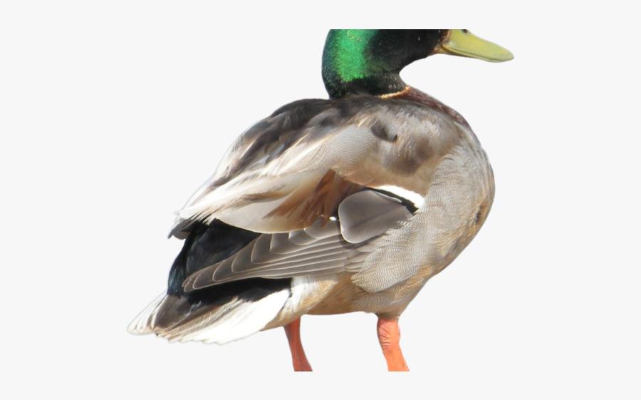 Duck Png Transparent Background, Transparent Clipart