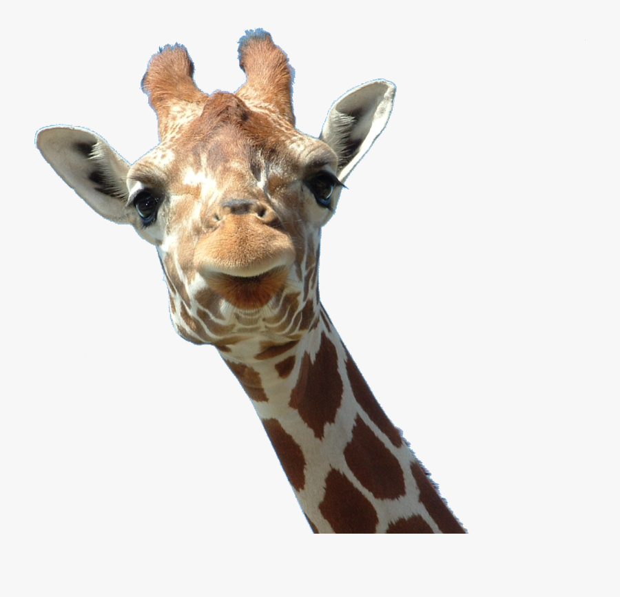 Free Download Of Giraffe Png Clipart - Giraffe Head Png, Transparent Clipart