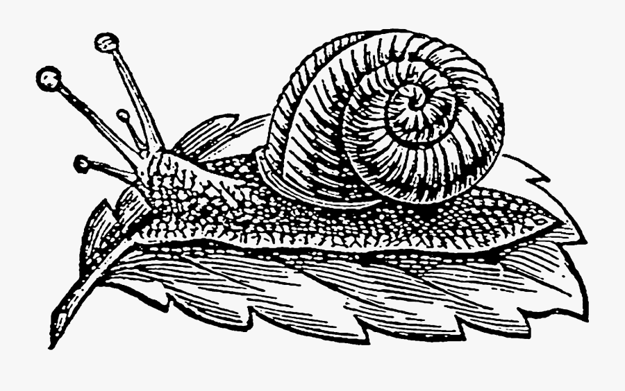 Snail, Transparent Clipart