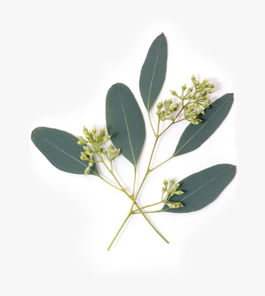 Eucalypt Flowers Gum Trees Leaf Nutrient Avocado - Transparent Eucalyptus Leaves Png, Transparent Clipart