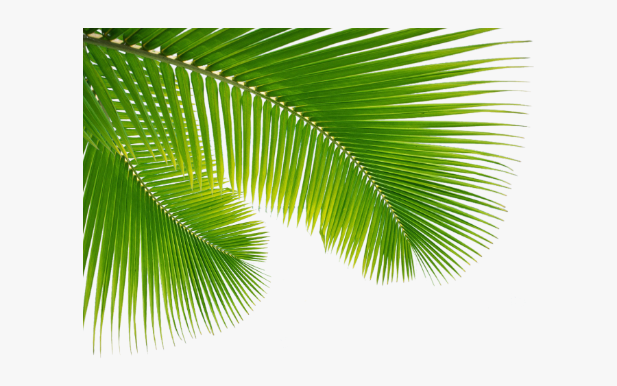 Palm Tree Leaf Png Clip Art Escobar Cleaning Services - Png Transparent Palm Tree Leaf, Transparent Clipart