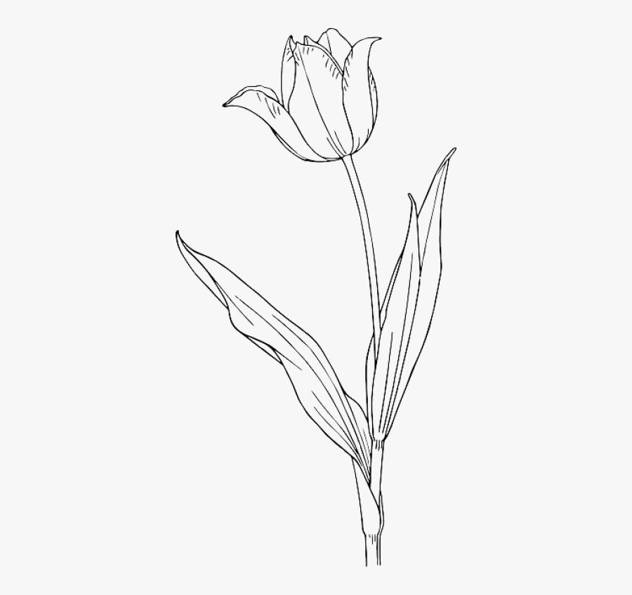 Tulip Flower Line Drawing, Transparent Clipart