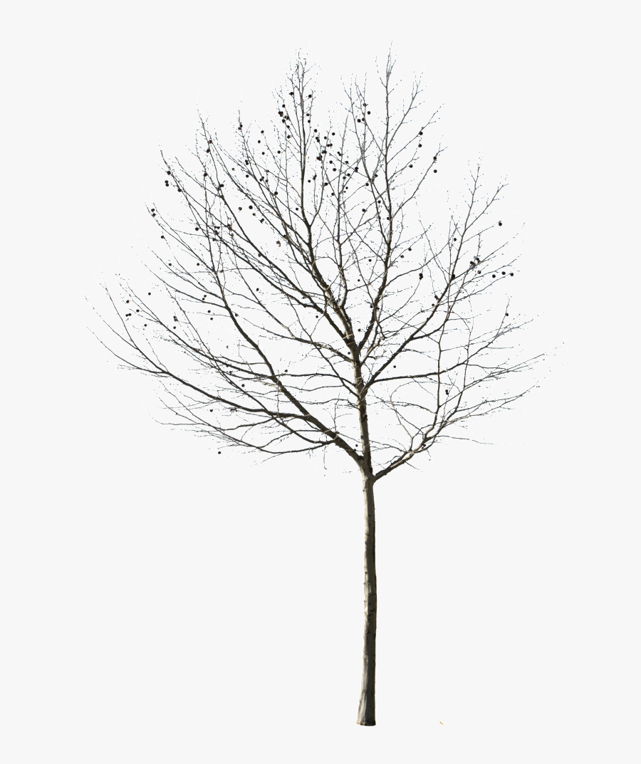 Birch Tree Outline - Winter Tree Cut Out, Transparent Clipart
