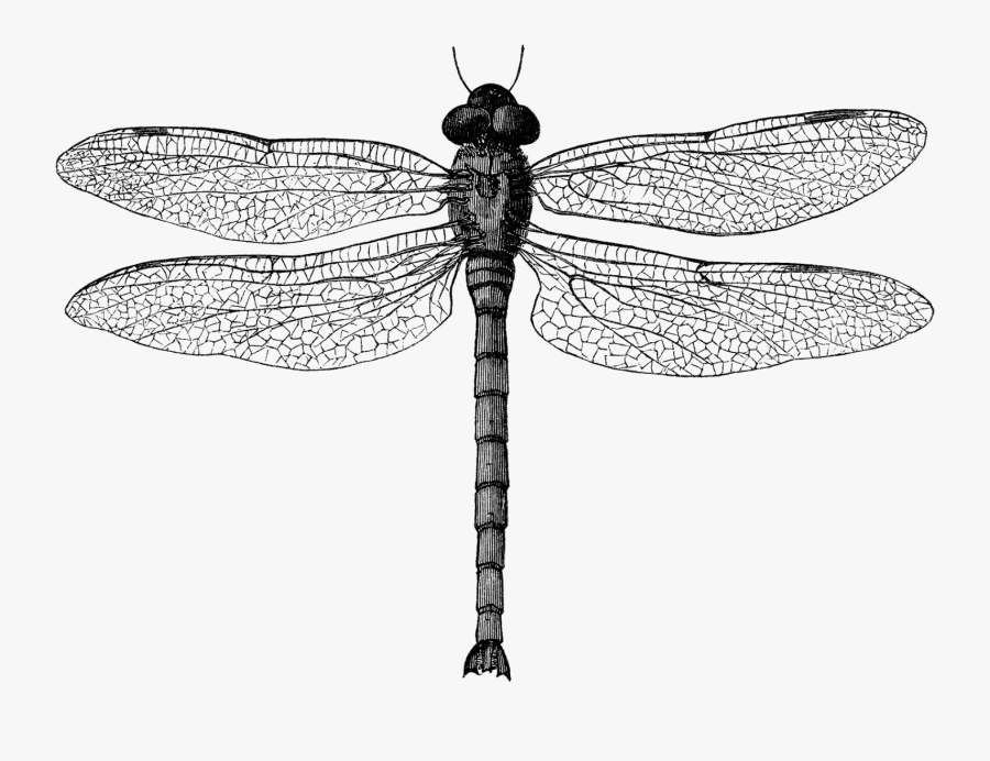 Clip Art Black And White Dragonfly - Dragon Fly Illustration, Transparent Clipart