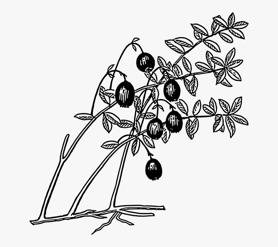 Cranberry, Plant, Fruit, Berries, Edible, Food - Cranberry Coloring Page, Transparent Clipart