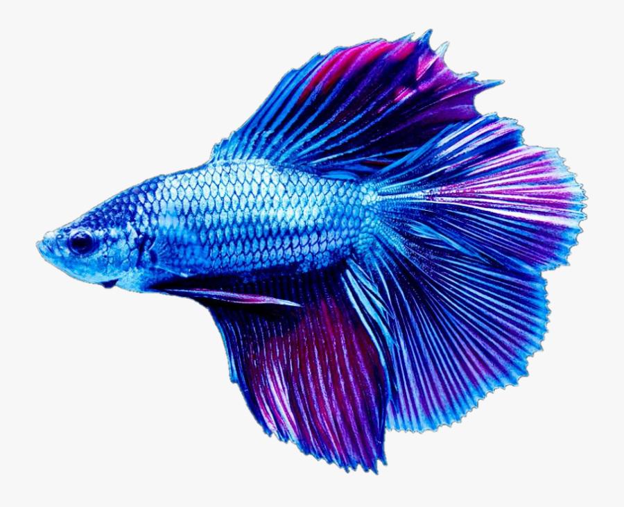 Transparent Beta Fish Png Blue Betta Fish Sticker Free Transparent Clipart Clipartkey