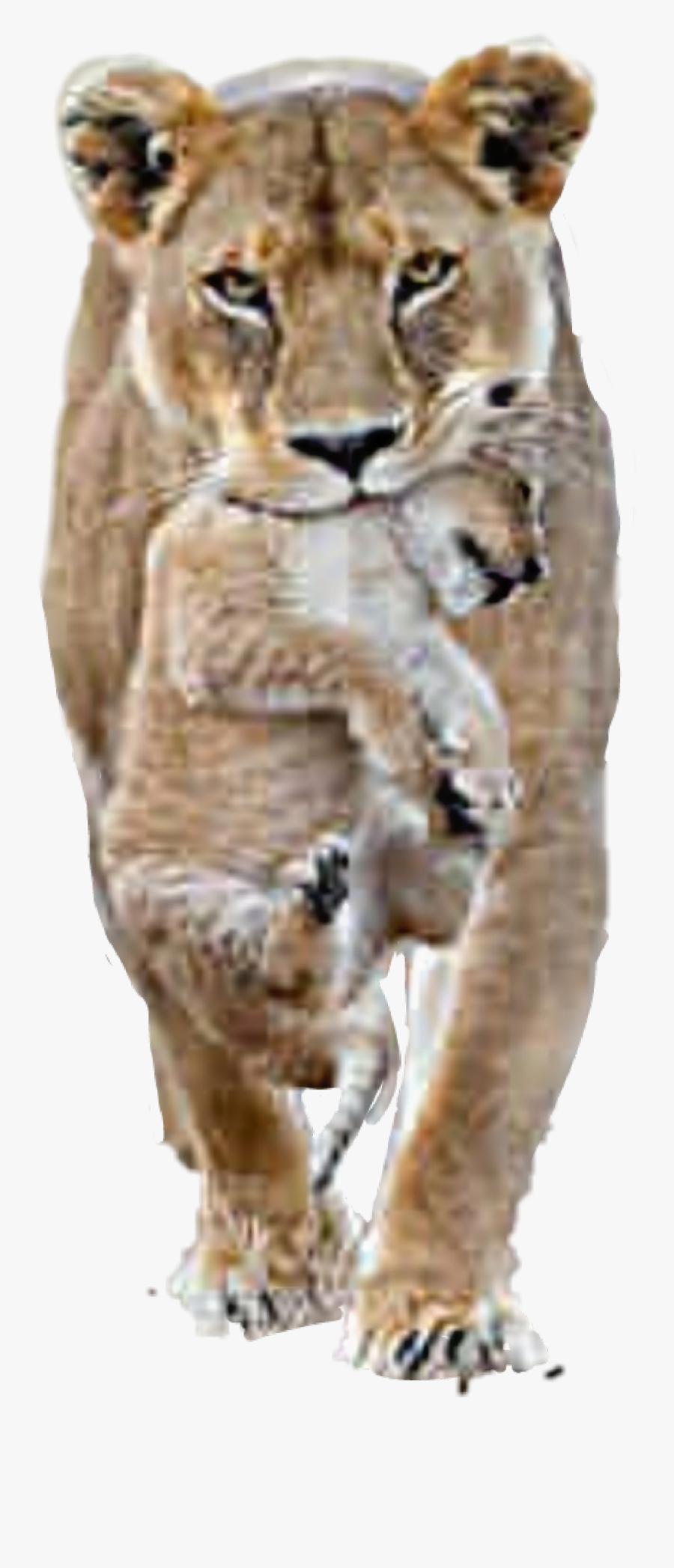 #lion #lioness #cub - Female Lion Male Lion, Transparent Clipart