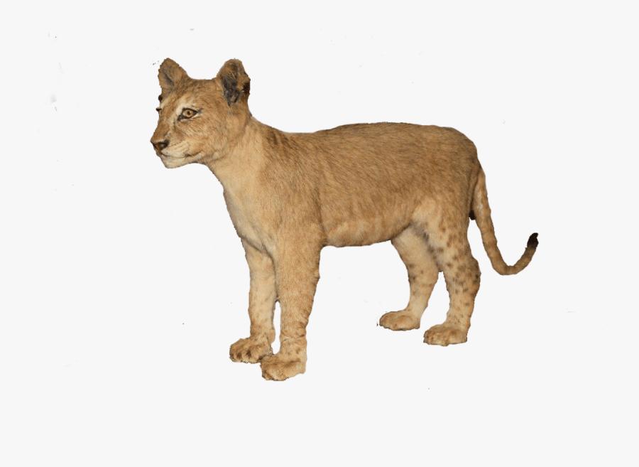 Clip Art Baby Lion Pictures - Baby Lion Transparent, Transparent Clipart