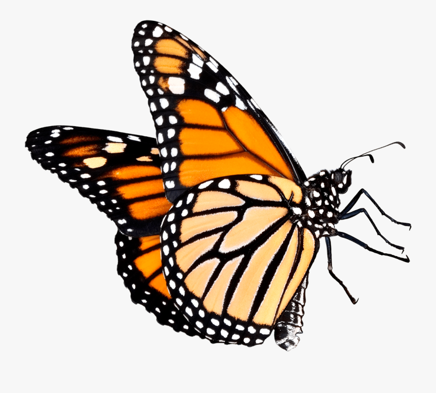 Butterfly Outline Clipart Transparent Background - Monarch Butterfly Transparent Background, Transparent Clipart