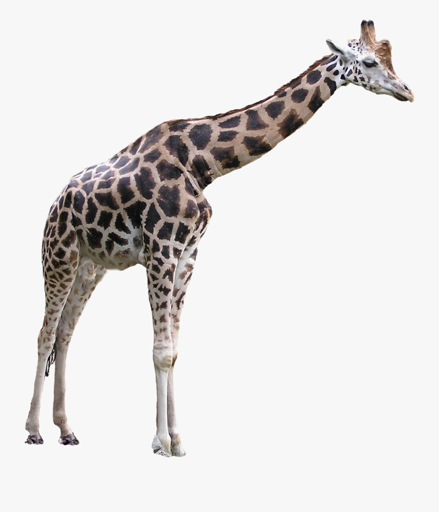 Grab And Download Giraffe Png Picture - Giraffe Transparent Background, Transparent Clipart