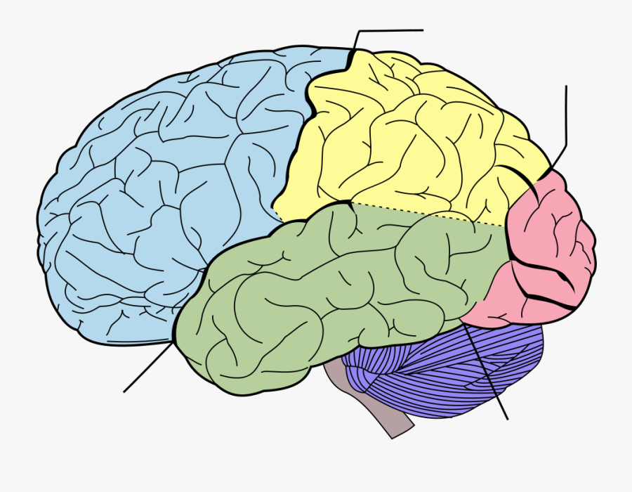 Blank Brain Diagram - Lobes Of The Brain No Labels , Free ...