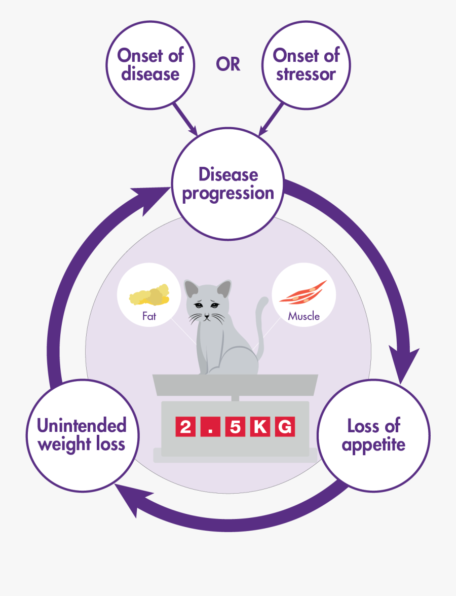 Disease Progression And Lack Of Appetite Cycle In Cats - Domestic Short-haired Cat, Transparent Clipart