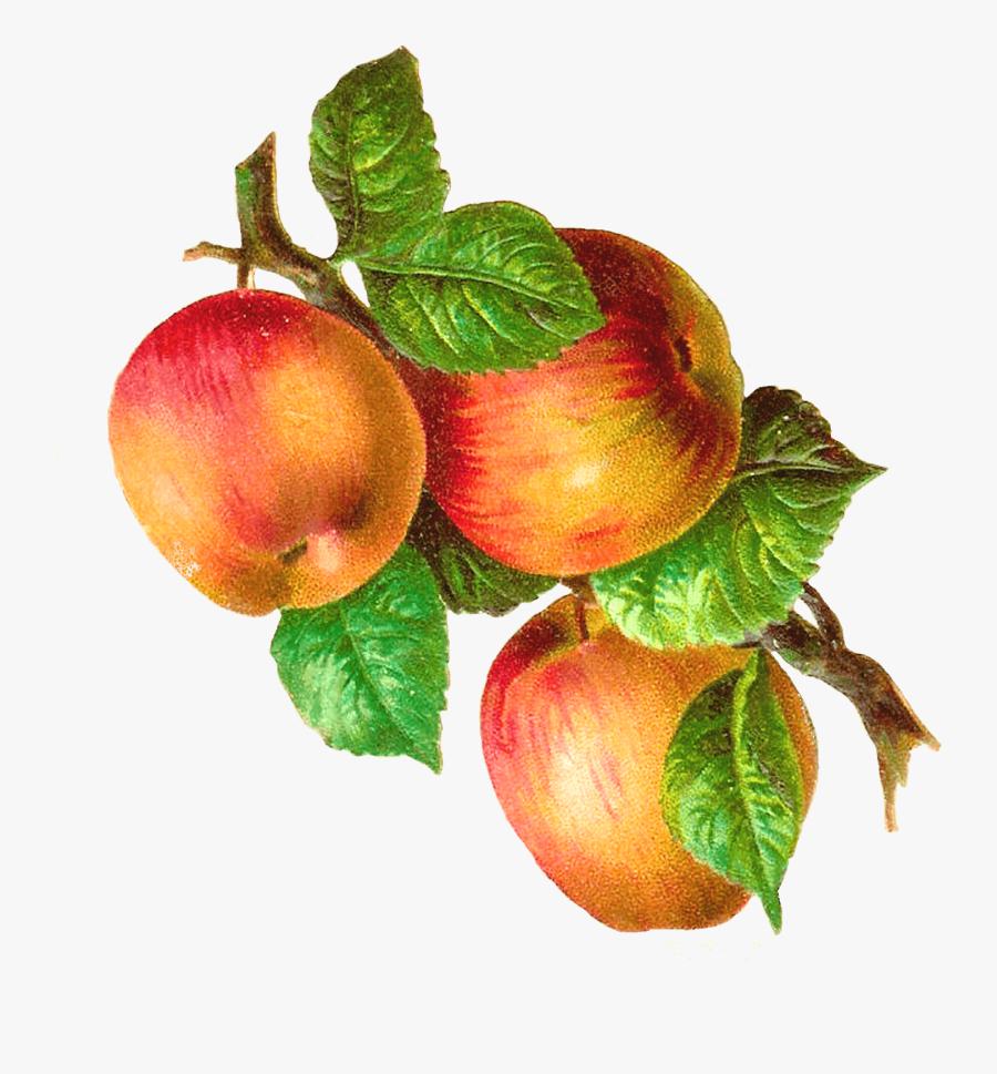 Apples On A Branch Vintage Transparent Png - Vintage Fruit Illustration Png, Transparent Clipart
