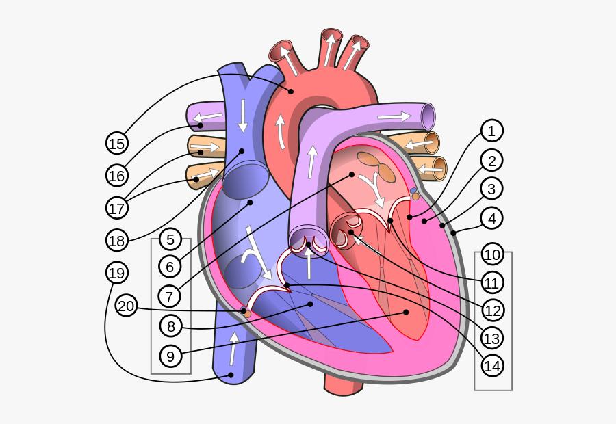Human Heart Diagram - Human Heart, Transparent Clipart