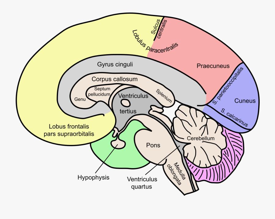Labeled Brain Corpus Callosum , Free Transparent Clipart ...