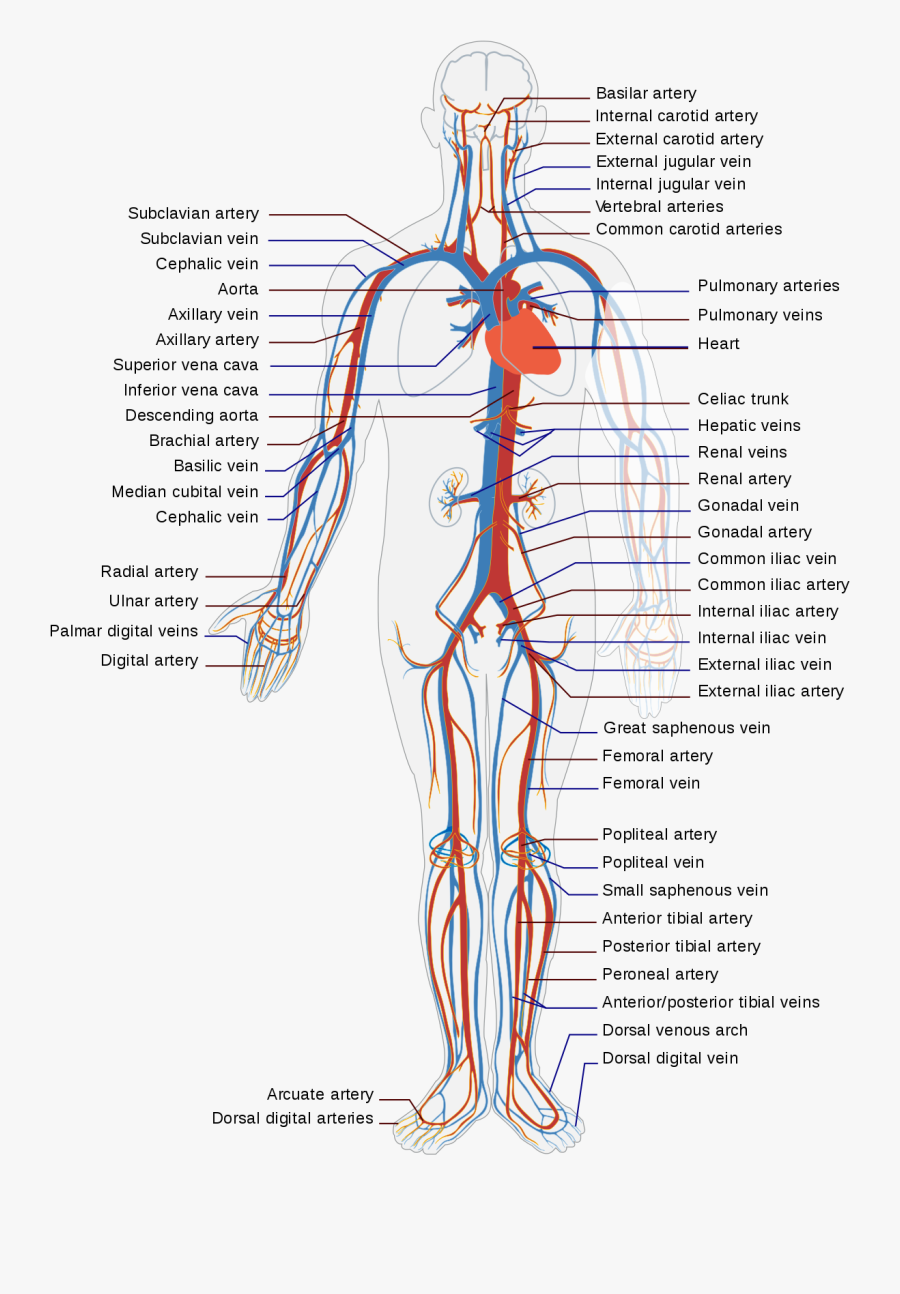 Shoulder,nerve,blood Vessel - Diagram Of Veins And Arteries In Body, Transparent Clipart