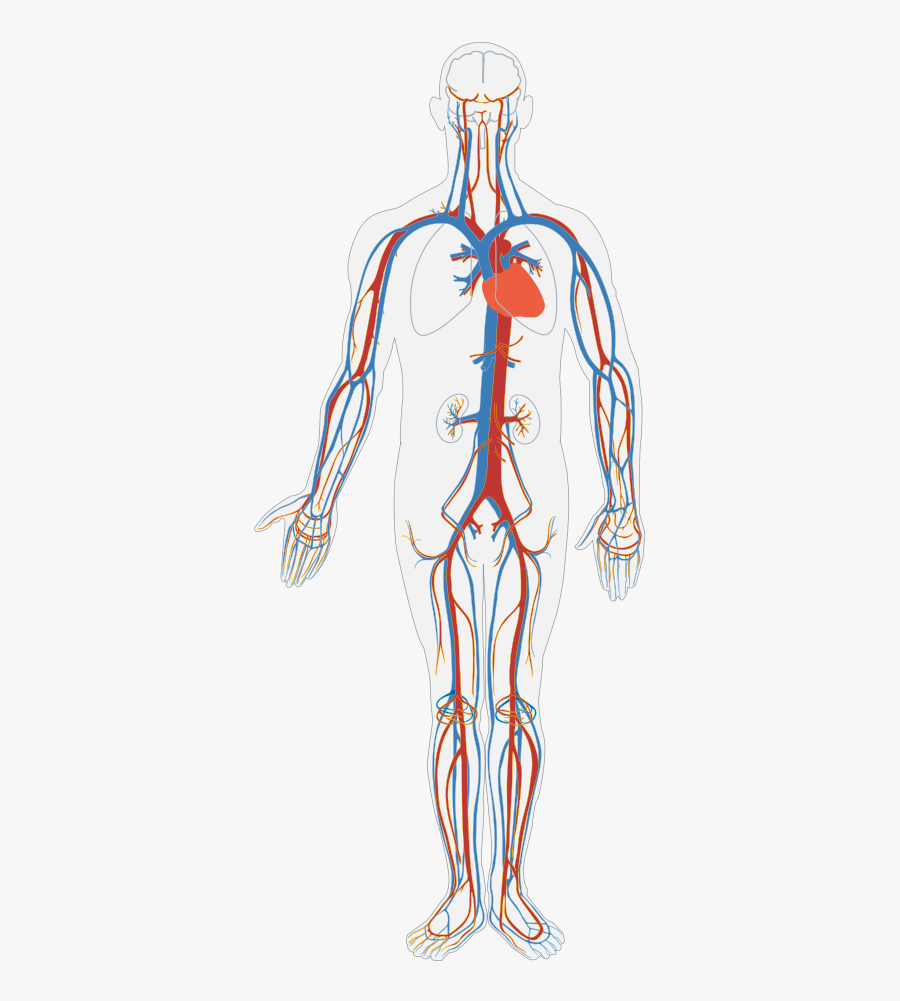 Circulatory System Diagram Blank - Blood Flow And Gas Exchange, Transparent Clipart
