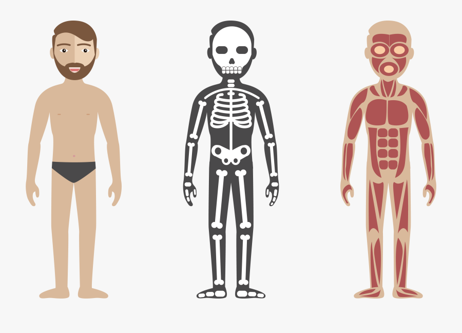 Vector Circulatory System Anatomy Illustration Check - Html Css Js Skeleton, Transparent Clipart