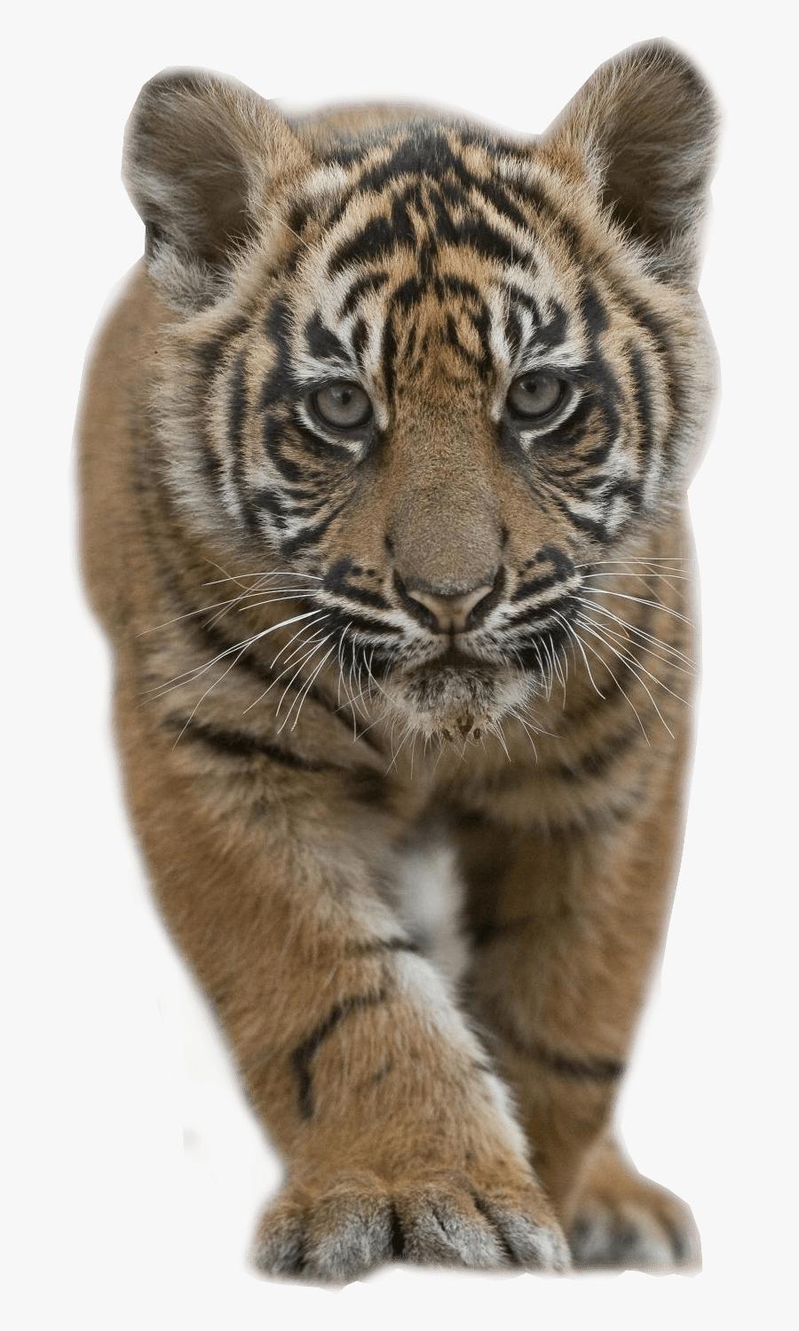 Baby Tiger - Transparent Tiger Cub Png, Transparent Clipart